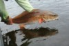 redfish being released